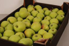 Яблоки Celesta 65+  кг новый урожай